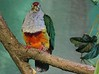 The Beautiful Fruit Dove or Crimson-capped Fruit Dove is native to New Guinea and Indonesia.