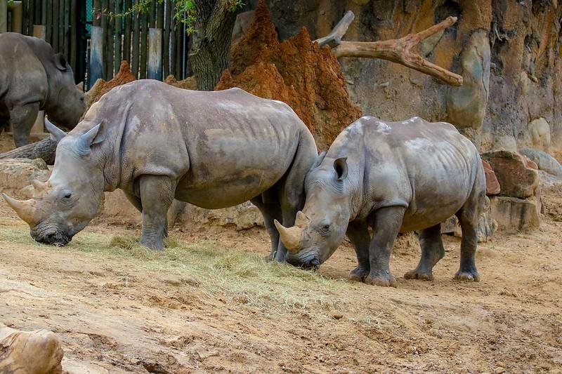 aaHouston Zoo 3-8-2017 1259A, White Rhinos, small