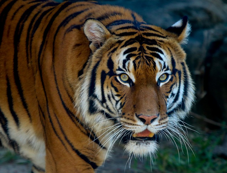 Malayan Tiger. Curators brought this beautiful male to the zoo in the spring of 2016 in hopes of mating with a tempermental female here. The meet and greet sessions went so poorly that the project has been put on indefinite hold.