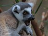 Ring-tailed Lemur. Its fur is so thick it can jam electric clippers.