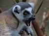 Lemur.