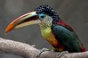 Curl-crested Aracari, a native of the southwestern Amazon Basin.