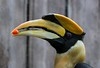 Great Indian Hornbill, found in Southeast Asia and the sub- continent of India. The heaviest Hornbill at over 8 pounds, its heavy wing beat has been likened to the sound of steam engine.