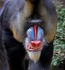 zZoo, Feb 1, 2018 538A, Mandrill