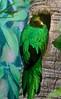 Golden-headed Quetzal-South America.