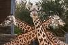 zZoo, Feb 1, 2018 137B, 3 Giraffes-137