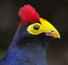 Lady Ross Turaco. Found in woodlands, open forests and river banks of Africa.