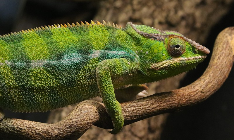 Panther Chameleons vary wildly in coloration. They originate in Madagascar.