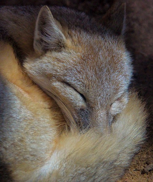The Swift Fox at the Houston Zoo can be found in the Children's zoo section.