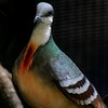 Luzon Bleeding Heart Dove. Plumage is iridescent and perceived color varies by lighting conditions.