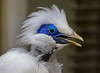 A Bali Mynah Bird, critically endangered due to poaching for the illegal caged bird market. Loss of feathers around neck is a common but not well understood malady of some Mynahs.