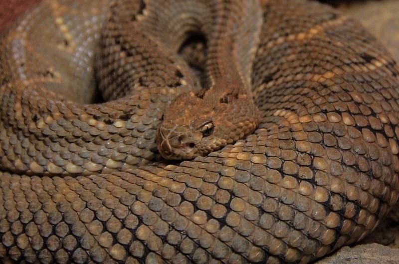 Aruba Island Rattlesnake.