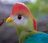 Red-Crested Turaco, which lives in the forests of Angola, Africa.