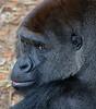 aaHouston Zoo 3-8-2017 1271A, Gorilla, small