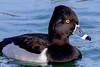 zZoo, Feb 1, 2018 026A Ring-necked Duck