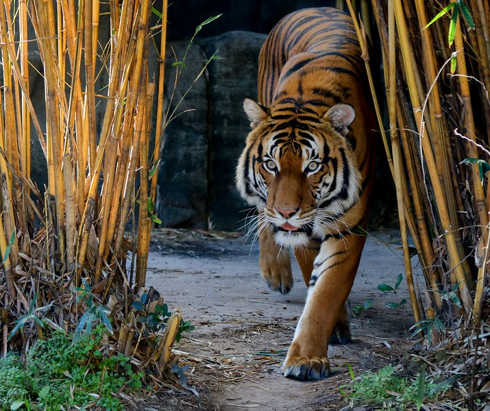 aHouston Zoo 2-16-17 376B Tiger small