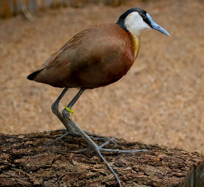 African Jacana. The males care for the young and can somehow pick up a chick and carry it under their wing.