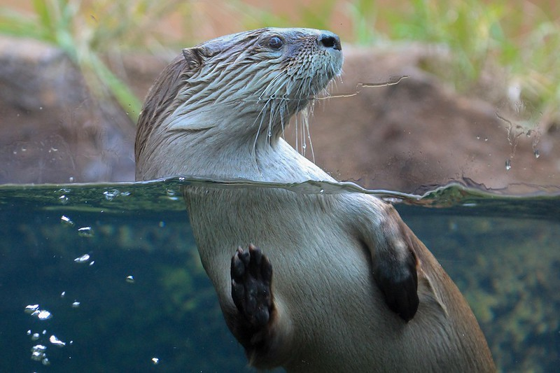North American River Otter. It can swim 1/4 mile under water if necessary.