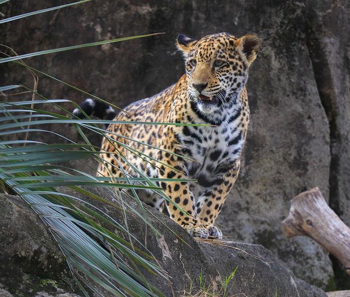 zZoo, Feb 1, 2018 346B, Jaguar cub-346
