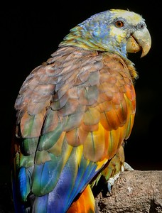 St. Vincent Amazon. Each one is uniquely colored and can be identified by its feathers.