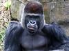 aZoo, Feb 1, 2018 125C, Silverback Gorilla torso-125