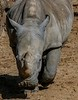 "White Rhino, a misnaming morph over time that came from an attempt to simply address its ""wide"" mouth."