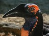 Southern Ground Hornbill, found in southern and eastern Africa.