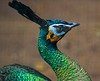 aaa Zoo3-24-17 624C, small, smooth, Green Peafowl torso