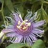 Passion-Flower-0001