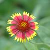 Blanket-Flower-0003