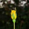 Yellow-Rose-0004