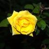 Yellow-Rose-0002