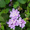 Trailing-Purple-Lantana-0001