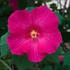 Hibiscus-0003