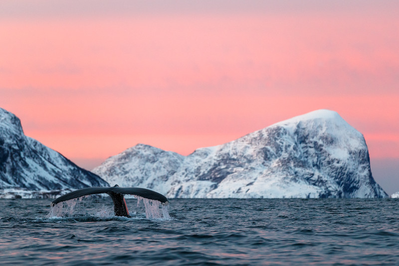 #humpbackwhale #Wildlife #WildlifePhotography #whale #whales #marinelife #animal #ocean  #photography #oceanlife #marinemammal #whalewatching #wildlifephotography #wildlife #nature #visittromso #visitnorthernnorway  #tromsø  #norway #nordnorge #visitnorway #northernbuzz  #northernnorway #arctic @visitnorway