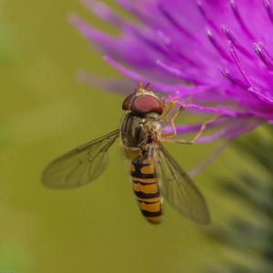 Hoverflies ~ Svirrefluer