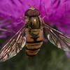Marmalade Hoverfly ~ Dobbeltbåndet Svirreflue