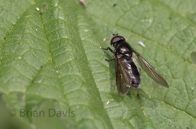 Hoverfly sp, Cheilosia variabilis