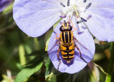 Hoverfly sp, Helophilus pendulus