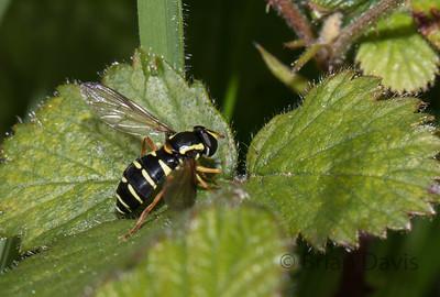 Hoverfly sp, Xanthogramma citrofasciatum
