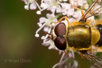 Hoverfly sp, Syrphus ?
