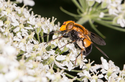 Hoverfly sp, Volucella inflata 3