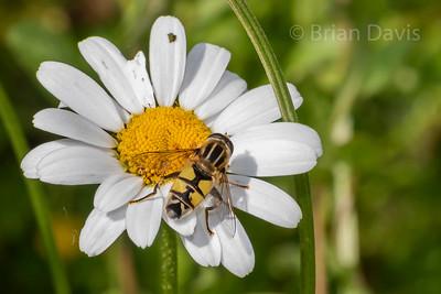 Hoverfly sp, Helophilus trivittatus