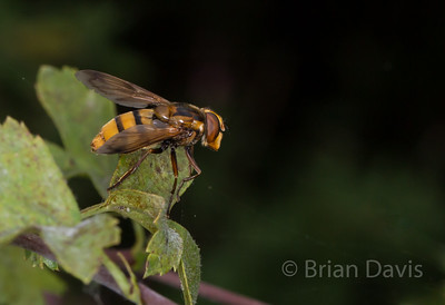 Hoverfly sp, Volucella inanis 4