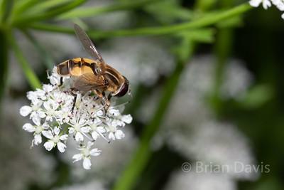 Hoverfly sp, Helophilus hybridus