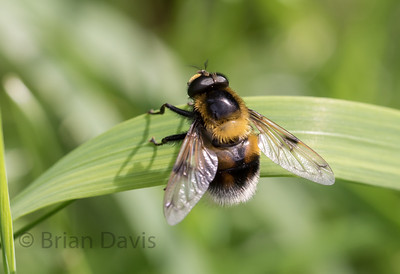 Hoverfly sp, Volucella bombylans 3