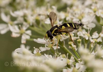 Hoverfly sp. Xanthogramma pedissequum 2