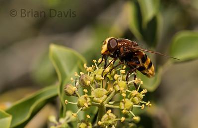 Hoverfly sp, Volucella zonaria 3