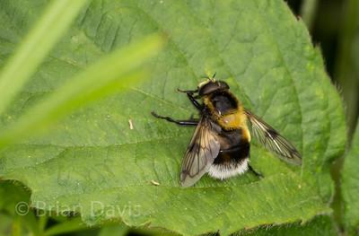 Hoverfly sp, Volucella bombylans