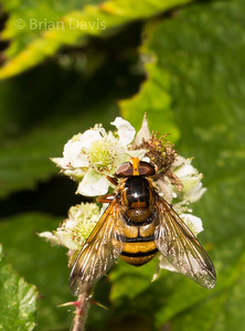 Hoverfly sp, Volucella Inanis